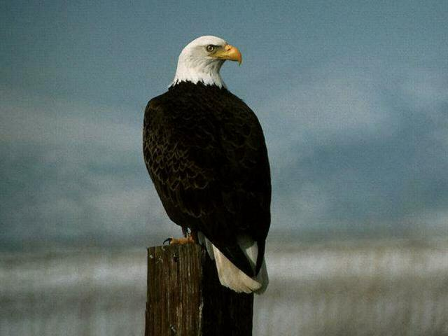 Bald Eagle on Post wallpaper