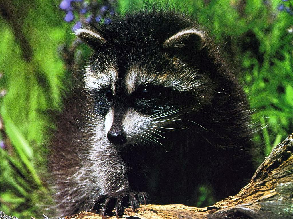 free hq baby raccoon - photo #45