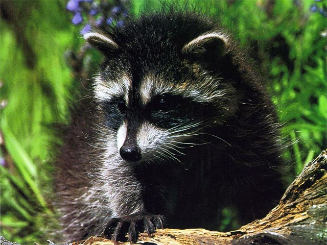animals raccoons weasels friends - photo #12
