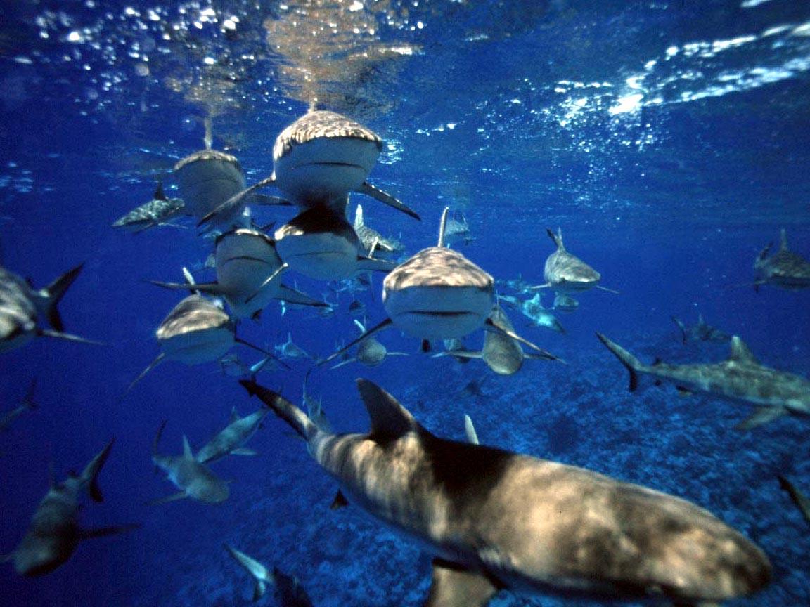 obama shark frenzy