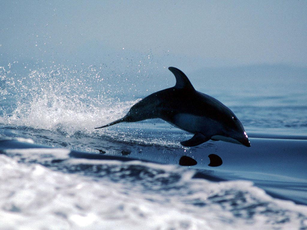 Pacific Whitesided Dolphin wallpaper