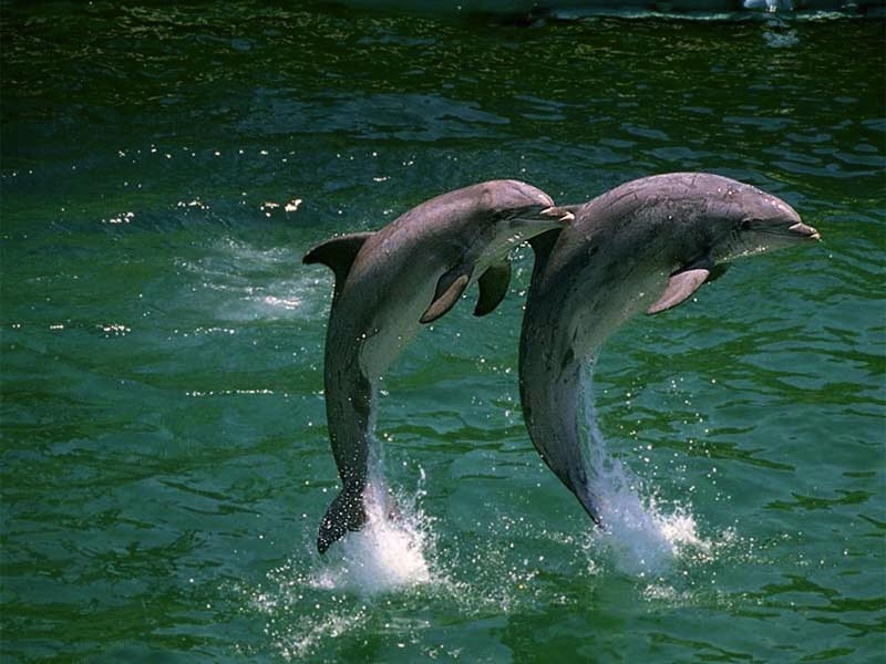 Two Dolphins Leaping wallpaper