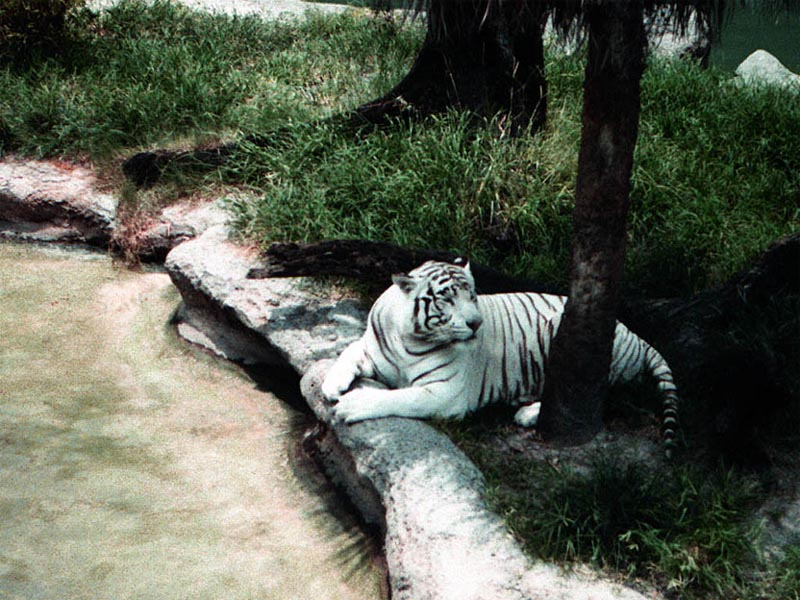 white tiger wallpaper. White Tiger wallpaper