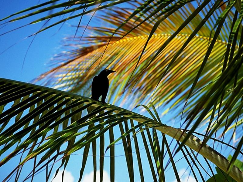 Crow in Palm Tree wallpaper