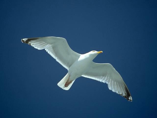 Seagull in blue sky wallpaper
