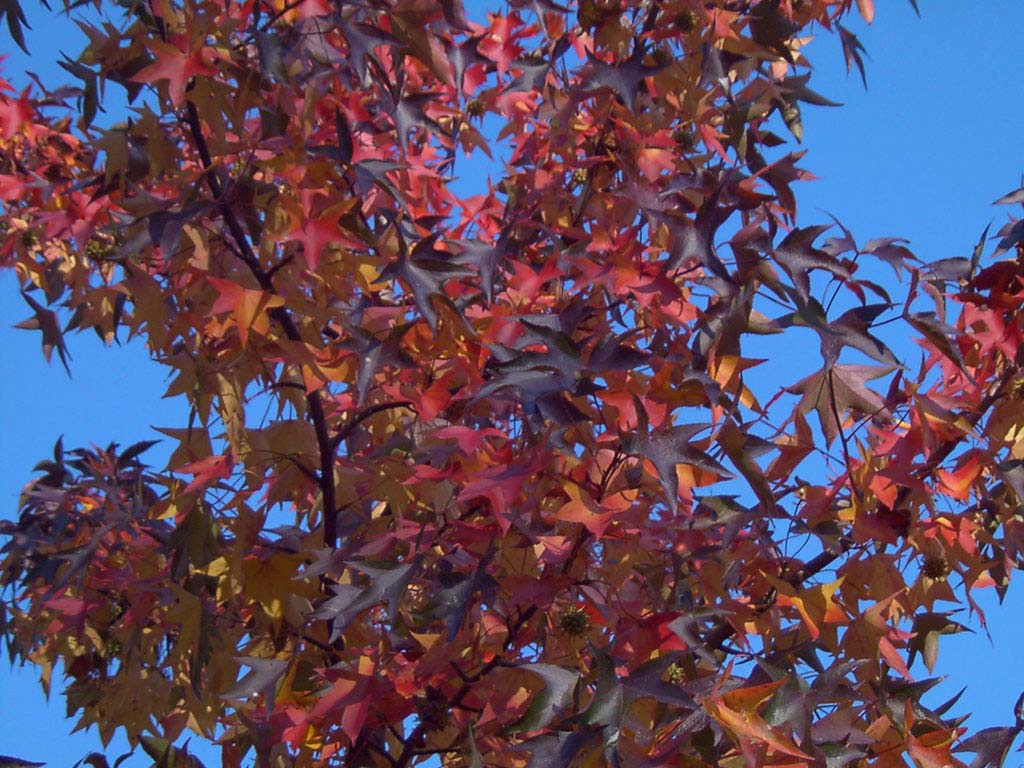 Sweetgum Tree in Autumn Color wallpaper