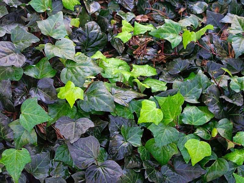 english ivy wallpaper and backgrounds 800 x 600