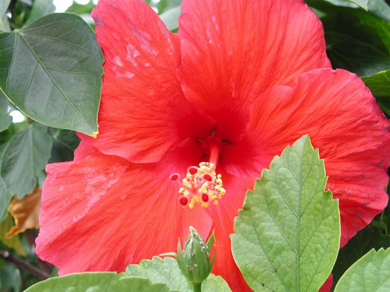 hibiscus wallpaper. Hibiscus Flower wallpaper