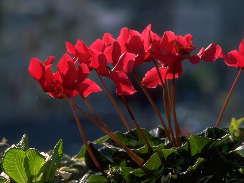 Cyclamen wallpaper