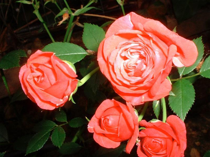 Free Wallpaper Of Roses. pink roses wallpaper