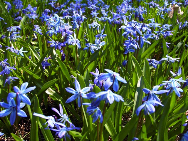 Blue Spring Flowers wallpaper
