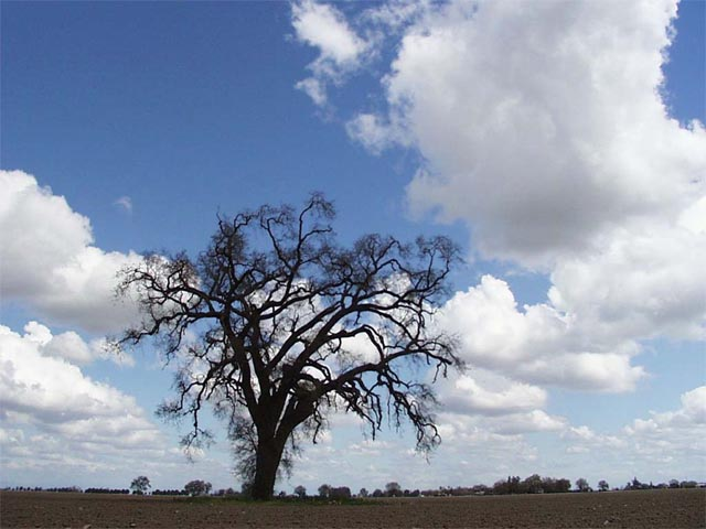 Lonely Oak Tree wallpaper