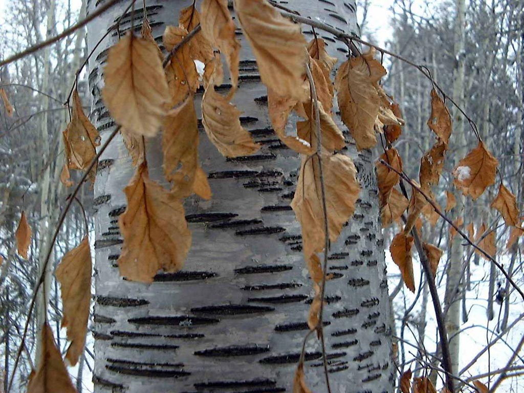Birch Tree Trunk wallpaper