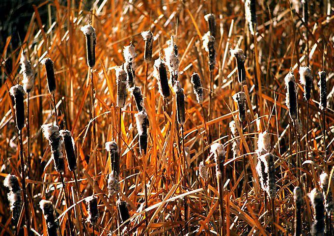 Cattails wallpaper